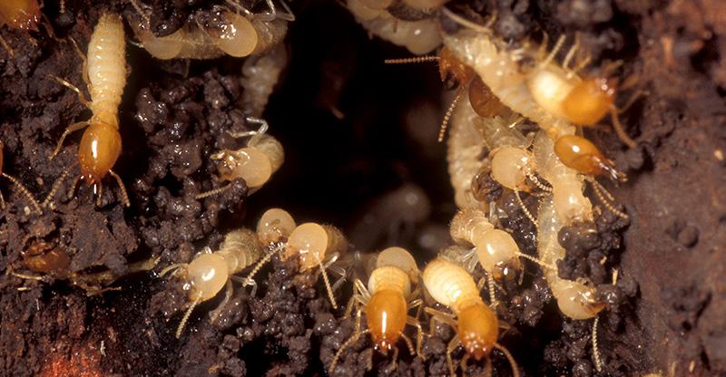 termite-usdoa.jpg